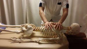 背骨の調整(骨格模型)