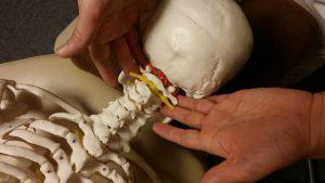 頚椎の検査 うつ伏せ(骨格模型)